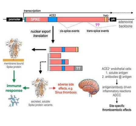 El posible rol del espliceosoma en la VITT asociada a las vacunas COVID-19 con adenovirus