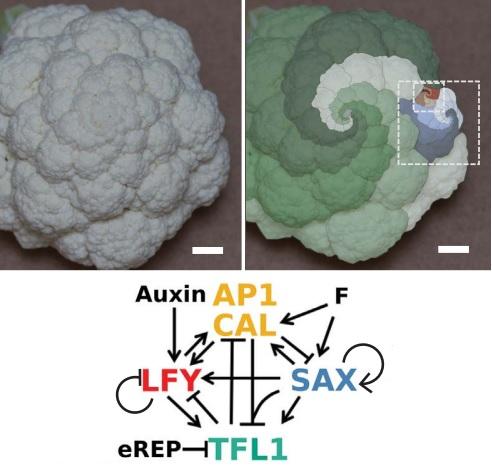 Los genes responsables de la estructura tipo fractal de la coliflor y del romanesco